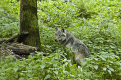 Wolf in the forest. A solitary wolf in the forest stock photo