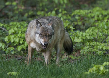Wolf in a forest Royalty Free Stock Image