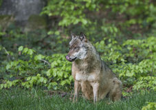 Wolf in a forest Stock Photo