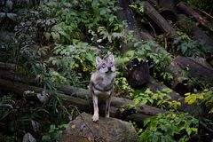 Portrait of wolf in forest. Wolf in forest on the bird above him. Srni, National Park Sumava, Czech Republic Stock Images