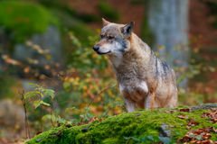 Wolf in the forest. Wolf in the deep fall forest Stock Images
