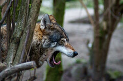 Wolf. In the forest gape Stock Photos