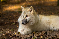 Wolf in the forest Royalty Free Stock Image