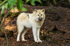 Wolf in the forest stock image