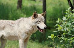 Wolf in forest Royalty Free Stock Images