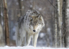 Wolf in forest Stock Photography
