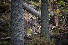 Portrait of wolf in forest. Wolf in forest, looking from the tree. Srni, National Park Sumava, Czech Republic Royalty Free Stock Photography