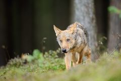 Wolf in forest in obey position from front side. Wolf cub in the forest standing in obey position from front side royalty free stock images