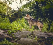 Wolf in forest Royalty Free Stock Photo