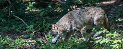 Wolf in the forest Stock Photos