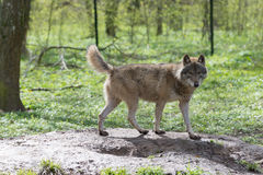 Wolf in the forest Royalty Free Stock Images