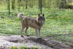 Wolf in the forest. Wild animal walks in the forest Stock Images