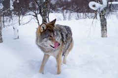 Wolf in a forest, Norway royalty free stock photos