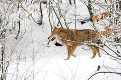 Wolf in the forest in winter. In the wild Royalty Free Stock Images