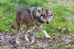 Wolf in the forest. In autumn royalty free stock images