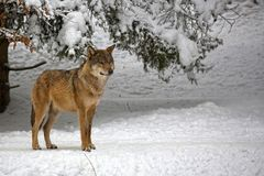 Wolf in the forest. In winter Stock Photo