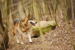 Wolf in the forrest Royalty Free Stock Photography
