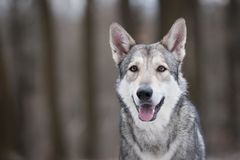 Wolf in forrest in winter. In forrest Royalty Free Stock Photos
