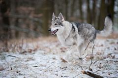 Wolf in forrest in winter. In forrest Stock Photography