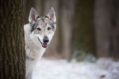 Wolf in forrest in winter. In forrest Stock Images