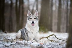 Wolf in forrest in winter. In forrest Stock Photo