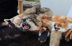 Wolf and fox skins with their heads on the dealer tray Royalty Free Stock Photos