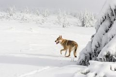 Wolf in fresh snow stock photo