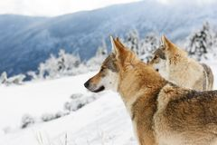 Wolf in fresh snow royalty free stock photography