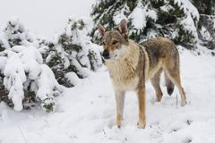 Wolf in fresh snow Stock Images