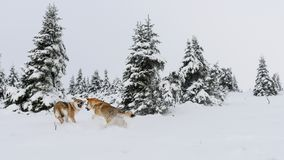 Wolf in fresh snow royalty free stock images