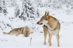 Wolf in fresh snow royalty free stock photos