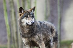 Wolf in front of tree trunks Stock Image