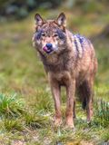 Wolf frontal in a forest. European Wolf (Canis lupus) frontal view with licking tongue in natural forest habitat Stock Photography