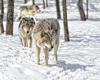 Wolf Gathering Stock Image