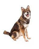 Wolf and German Shepherd Cross Dog Sitting. A beautiful large Wolf and German Shepherd mixed breed dog sitting to the side with a happy expression Royalty Free Stock Images