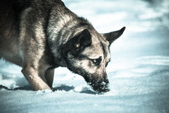 Wolf. German shepherd dog walking in snow looking like wolf Royalty Free Stock Photography