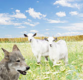Wolf and goats Stock Image