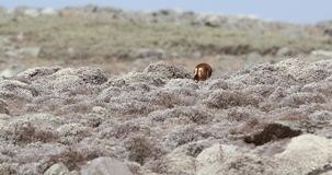 Wolf Going Away etíope almacen de metraje de vídeo