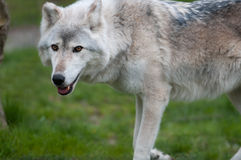 Wolf in Grass Stock Images