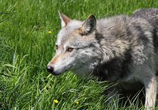 Wolf in the grass. Close up of a grey wolf with staring eyes Stock Image