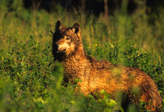 Wolf in Grass After Rain Stock Photo
