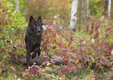 Wolf. Gray wolf, black phase, running through fall foliage.  Autumn in the Midwest Royalty Free Stock Image