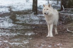 Wolf in the great outdoors Royalty Free Stock Photos