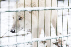 Wolf in the great outdoors Royalty Free Stock Images