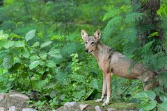 Wolf green defocus background shallow background royalty free stock photo