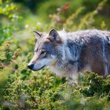 Wolf in a green field. Close up of a wolf in the norwegian summer forest Royalty Free Stock Photography