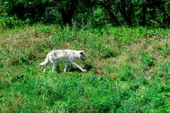 A wolf on a green grass stock images