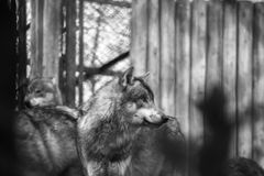 Wolf Grey Canis lupus Black and WHite side profile royalty free stock photography