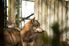 Wolf Grey Canis lupus side profile royalty free stock images