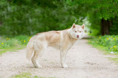 Wolf grey color. The adult male is on the road age 2 years royalty free stock images